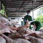 Tin tức trong ngày - Bắt giữ hơn 1 tấn thịt heo đang… chảy dịch
