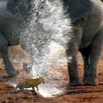 Tin tức trong ngày - Ảnh đẹp: Voi phun nước xua đuổi báo