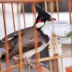 Tin tức trong ngày - Cà phê chim, thú vui người Sài thành