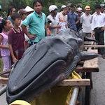 Tin tức trong ngày - Huế: Phát hiện cá voi bị thương nặng trôi dạt