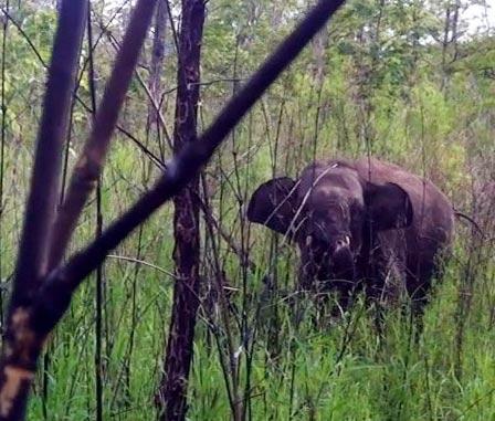 Giải cứu thành công voi rừng dính bẫy - 1