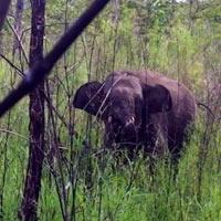 Giải cứu thành công voi rừng dính bẫy