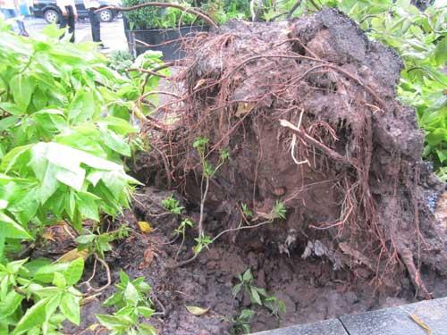 TP.HCM: Gió lốc làm cây xanh bật gốc - 1