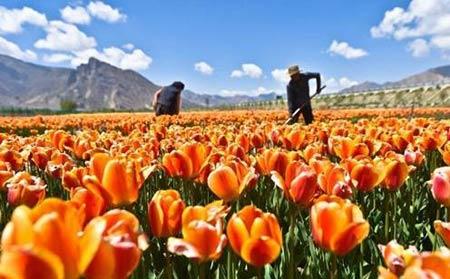 Những thiên đường hoa tulip không đến từ Hà Lan - 1