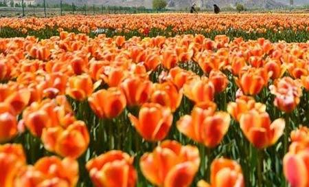 Những thiên đường hoa tulip không đến từ Hà Lan - 2