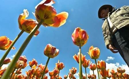 Những thiên đường hoa tulip không đến từ Hà Lan - 3
