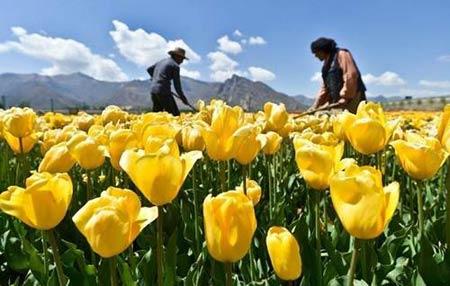 Những thiên đường hoa tulip không đến từ Hà Lan - 4