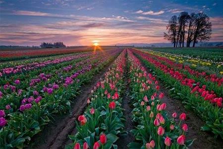 Những thiên đường hoa tulip không đến từ Hà Lan - 5