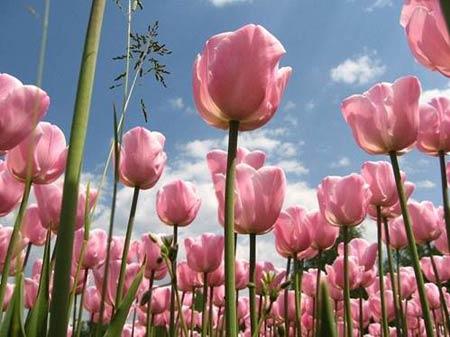 Những thiên đường hoa tulip không đến từ Hà Lan - 6