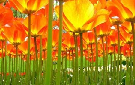 Những thiên đường hoa tulip không đến từ Hà Lan - 7