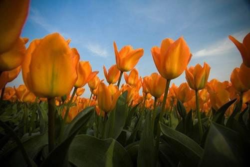Những thiên đường hoa tulip không đến từ Hà Lan - 10