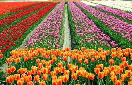 Những thiên đường hoa tulip không đến từ Hà Lan - 11