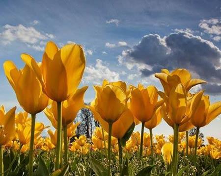 Những thiên đường hoa tulip không đến từ Hà Lan - 8