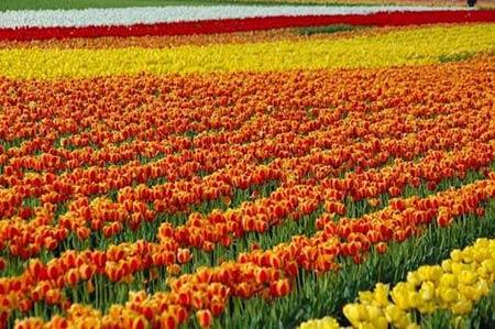 Những thiên đường hoa tulip không đến từ Hà Lan - 9