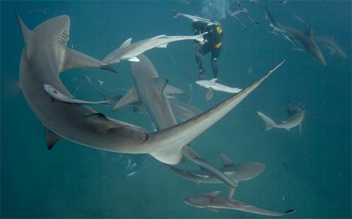 Ảnh đẹp: Thợ lặn bơi giữa đàn cá mập - 11
