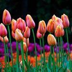 Du lịch - Những thiên đường hoa tulip không đến từ Hà Lan