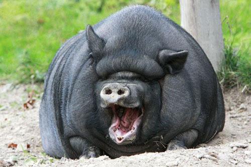 Ảnh đẹp: Lợn ỉ Việt Nam cười tươi như hoa - 6