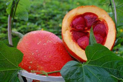 Lycopen trong gấc gấp 10 lần các loại quả khác