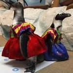 Phi thường - kỳ quặc - Chim cánh cụt mặc áo thổ dân