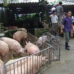 Thị trường - Tiêu dùng - Giá 1kg lợn hơi chỉ bằng giá... bát phở