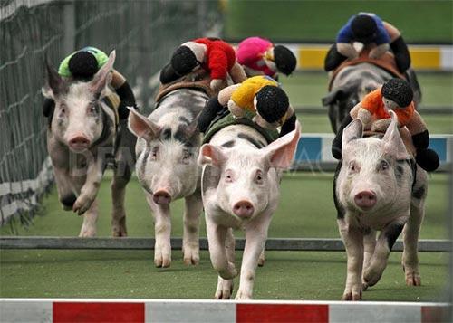 Kỳ thú hội đua heo ở Trung Quốc - 2