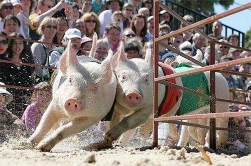 Kỳ thú hội đua heo ở Trung Quốc - 4