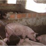 Thị trường - Tiêu dùng - Sẽ làm rõ việc bơm nước vào thịt lợn