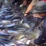 Thị trường - Tiêu dùng - Xuất khẩu cá tra đạt 237.000 tấn