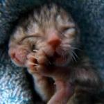 Tin tức trong ngày - Kỳ lạ: Mèo hai đầu chào đời tại Mỹ