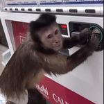 Phi thường - kỳ quặc - Clip: Choáng với chú khỉ thông minh