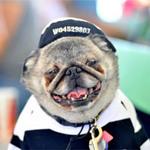 Phi thường - kỳ quặc - 10 chú chó xấu nhất thế giới 2013