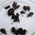 Hàng chục ổ bọ xít hút máu người tấn công HN