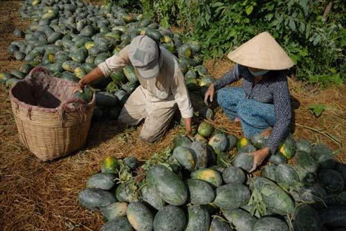 Nghịch lý: Dưa hấu Việt xuất khẩu giá rẻ, xoài TQ nhập giá cao - 1