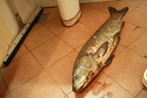 Cá trắm hồ Tây giá nửa triệu đồng vẫn hút khách - 2