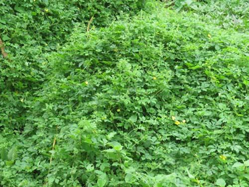 Khổ qua rừng ăn với lẩu cua đồng - 2