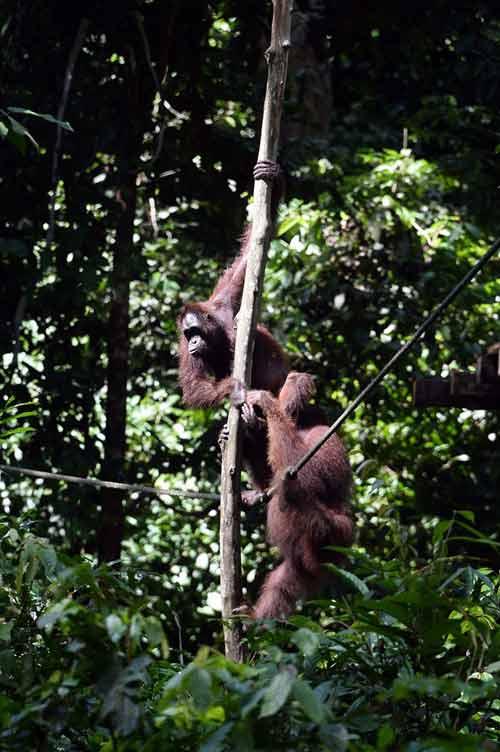 Vương quốc' đười ươi, khỉ mũi dài ở Malaysia - 11