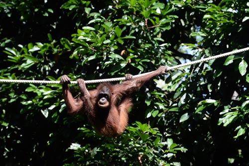 Vương quốc' đười ươi, khỉ mũi dài ở Malaysia - 12
