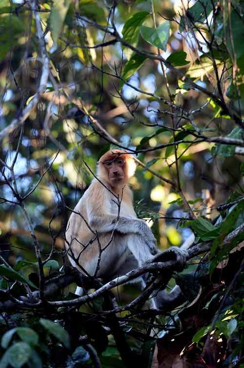 Vương quốc' đười ươi, khỉ mũi dài ở Malaysia - 6