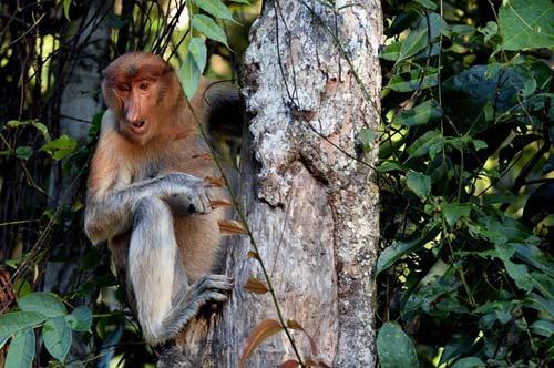 Vương quốc' đười ươi, khỉ mũi dài ở Malaysia - 7