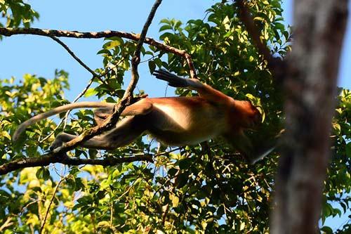 Vương quốc' đười ươi, khỉ mũi dài ở Malaysia - 8