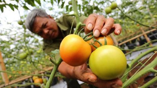 Vì sao người tiêu dùng không chuộng cà chua 3 trái/kg? - 1