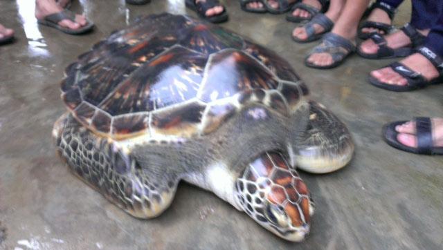Lại xuất hiện rùa quý dạt vào bờ biển TT-Huế - 1