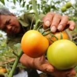 Thị trường - Tiêu dùng - Vì sao người tiêu dùng không chuộng cà chua 3 trái/kg?