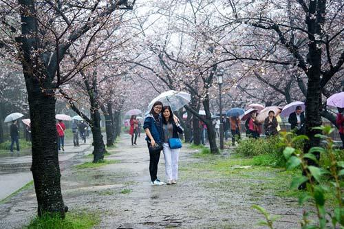 Mùa hoa anh đào nở rực rỡ Nhật Bản