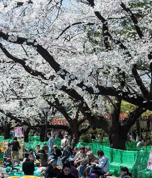 Mùa hoa anh đào nở rực rỡ Nhật Bản - 11