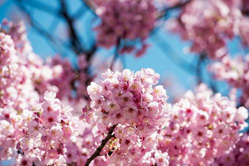 Mùa hoa anh đào nở rực rỡ Nhật Bản - 12