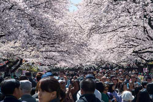Mùa hoa anh đào nở rực rỡ Nhật Bản - 13