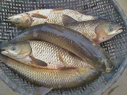 Suýt chết vì tự chữa đau khớp, đau lưng bằng mật cá - 1