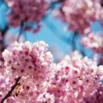 Du lịch - Mùa hoa anh đào nở rực rỡ Nhật Bản
