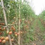 Sức khỏe đời sống - Cà chua giấm hóa chất, người trồng không dám ăn